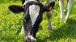 Pasto cultivado: claves y ventajas para la industria ganadera - Noticias de zonas rurales