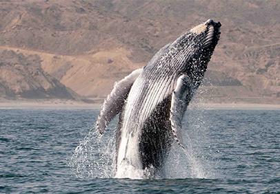 [FOTOS] Ballenas jorobadas: un espectáculo en el mar peruano